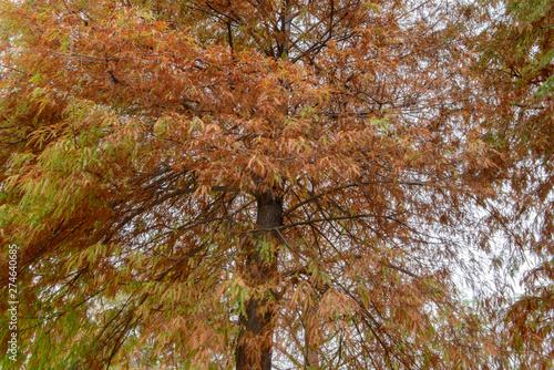 colorful autumn Bald Cypress tree (Taxodium distichum) © linjerry