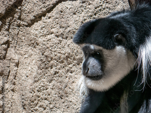 Fotomural  Portrait of a Black and White Colobus Monkey