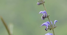 Blue Sage, Flower, Golan, Israel