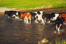 A Herd Of Cows Is On The River. Cows Graze In Nature In Kazakhstan. Cattle Crossing The River.
