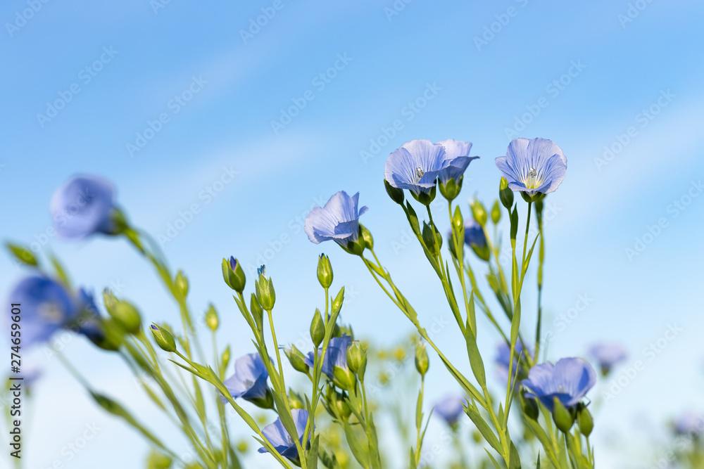 Fototapety, obrazy: flax field with blue flowers