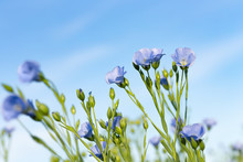 Flax Field With Blue Flowers