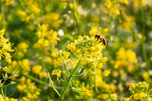 Yellow Mustard Flowers With Bee