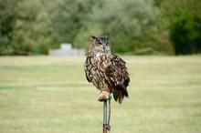 Great Horned Owl At Bird Of Pr...