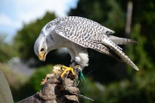 White Falcon Eating A Chick At A Bird Of Prey Display