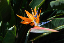 Beautiful Bird Of Paradise Flower (Strelitzia Reginae) In Green Background. Tenerife,Canarian Islands.