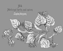 Linden Blossom Hand Drawn Patterns With Flower, Lives And Branch In Black And White Color On Gray Background. Retro Vintage Graphic Design Botanical Sketch Drawing