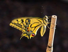 Backlit Profile Of A Newly Emerged Yellow Swallowtail Butterfly Clinging To A Bamboo Stick On A Dark Grey Background