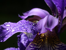 Iris Closeup, Water Drop, Violet Leaves, Black Background