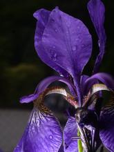Iris Closeup, Water Drop, Violet Leaves, Black Background