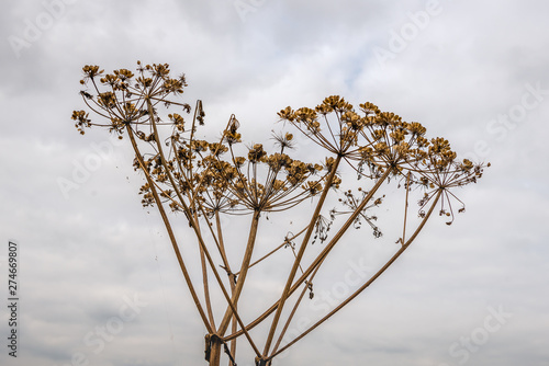 Valokuvatapetti Closeup of overblown common hogweed or  Heracleum sphondylium plants silhouetted against a cloudy sky