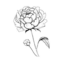 Peony. Single Hand-drawn Black Flower Peony, Isolated On White Background. Sketch Style Vector Illustration.