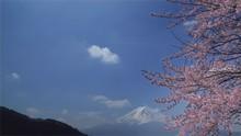 Mt. Fuji And Cherry Blossoms. ...