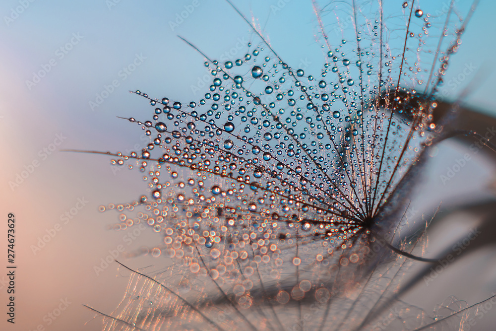 Fototapety, obrazy: water droplets on a feather resembling a cobweb in the evening light on a gentle bare background