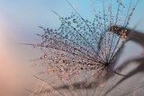 Fototapeta Dmuchawce - water droplets on a feather resembling a cobweb in the evening light on a gentle bare background