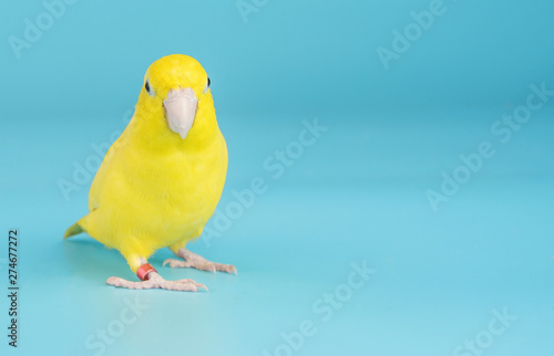 Bird parrot parakeet forpus american yellow color isolated on blue background 1 Canvas Print