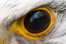 Eagle Eye Close-up, Macro Photo, Eye Of The Gyrfalcon, Falco Rusticolus