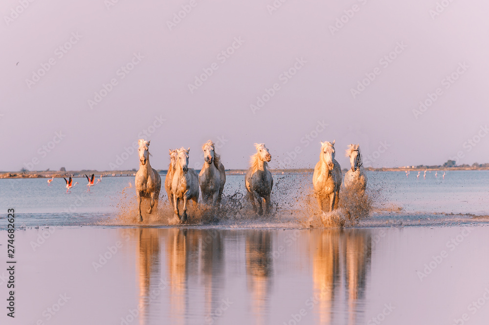 Fototapety, obrazy: Horse running under sunset in camargue