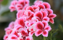 Two-tone Flowers Pelargonium G...