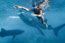 Woman Snorkeling With Whale Sh...