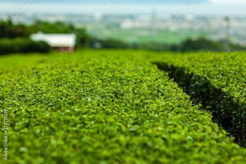 Fototapeta  茶 新緑 綾鷹 名種 原産 有名 抹茶 緑茶 烏龍茶