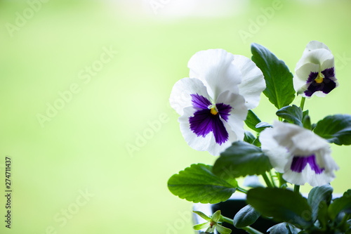 Tuinposter Pansies Close up of blue and white pansy flowers or pansies blooming in the garden , space for text