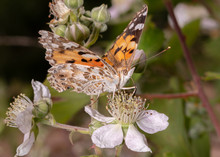 Painted Lady Butterfly On Blac...