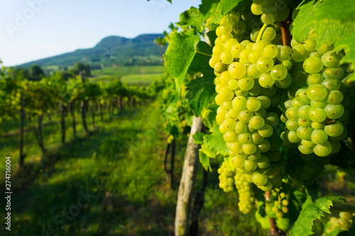 La pose en embrasure Vignoble wine grapes in vineyard sunrise, Badacsony hill at background, Hungary
