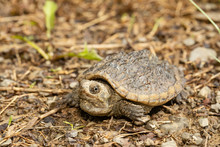 Baby Snapping Turtle - Chelydra Serpentina
