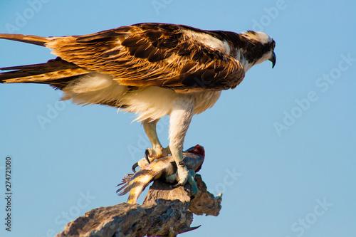 Osprey with Fish Kill, Canaveral National Seashore, Florida
