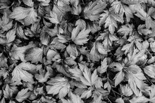 White And Gray Tone Leaves Texture Of Mugwort Plant - Artemisia Vulgare Fresh Variegated Leaves