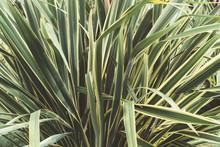 Green Thin Long Leaves . Plant...