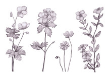 Set Of Monochrome Pencil Botanical Sketches Of Wild Flowers. Hand-drawn Geranium, Petunia And Anemone Isolated On White Background. Vintage Style.