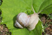 Vineyard Snail On A Leaf