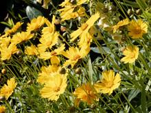 Coreopsis Grandiflora. Large-f...