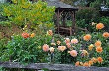 Orange Dahlia Garden