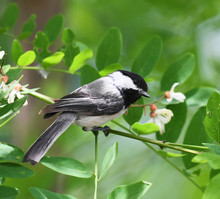 Black Capped Chickadee Bird On...