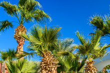 Green Sabal Palm Trees Against...