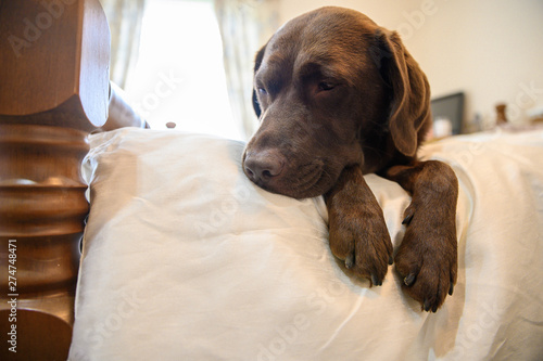 Chocolate Labrador Relaxing on white family Bed