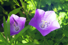 Two Violet Bellflowers On Blur...