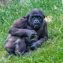 Gorilla, Young Monkey Sitting ...