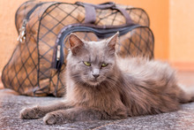 A Gray Cat Sits Near Suitcase....