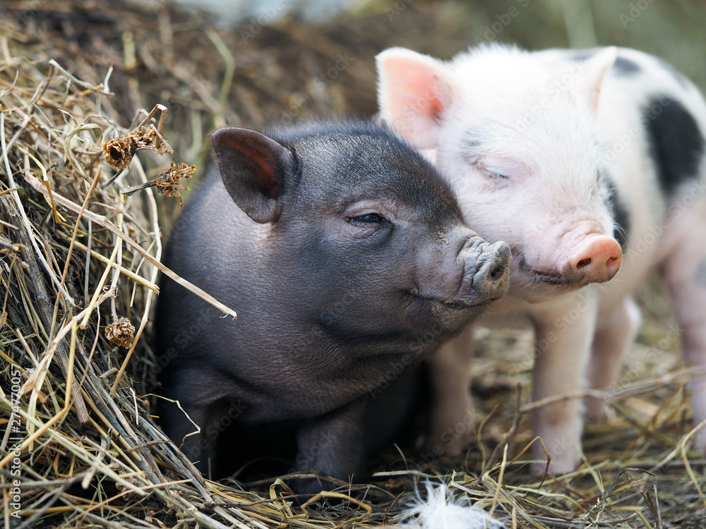 Fototapety, obrazy: Cute little pigs in the farm. Portrait of a pig