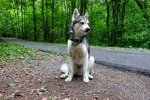 Alaskan Klee Kai . Portrait Of A Dog