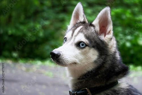 Alaskan Klee Kai  portrait of a dog with blue eyes Canvas Print