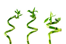 Three Houseplant Stem Of Lucky Bamboo (Dracaena Sanderiana) With Green Leaves, Twisted Into A Spiral Shape, Isolated On White Background