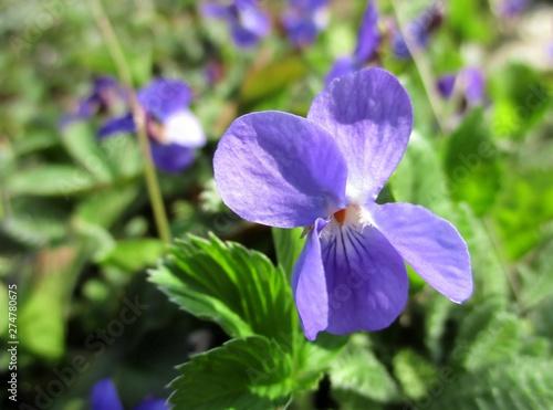 Violette isolée en gros plan dans la nature