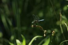 Eastern Pondhawk (Erythemis Si...