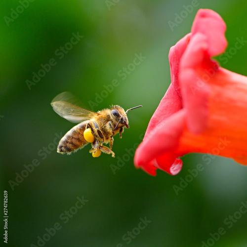 Fotografia flying honey bee near red flower liana Campsis