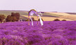 Lavender flowers in the sun in soft focus, pastel colors and blur background. Purple field of lavender. Provence with space for text. French lavender in the field, unsharp light effect. Short focus